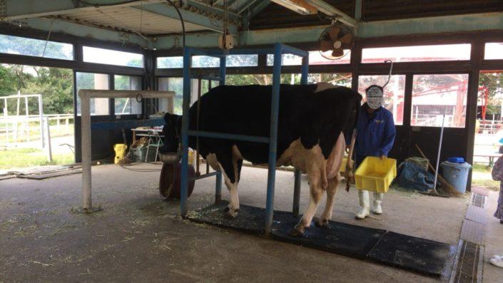 乳搾りの牛