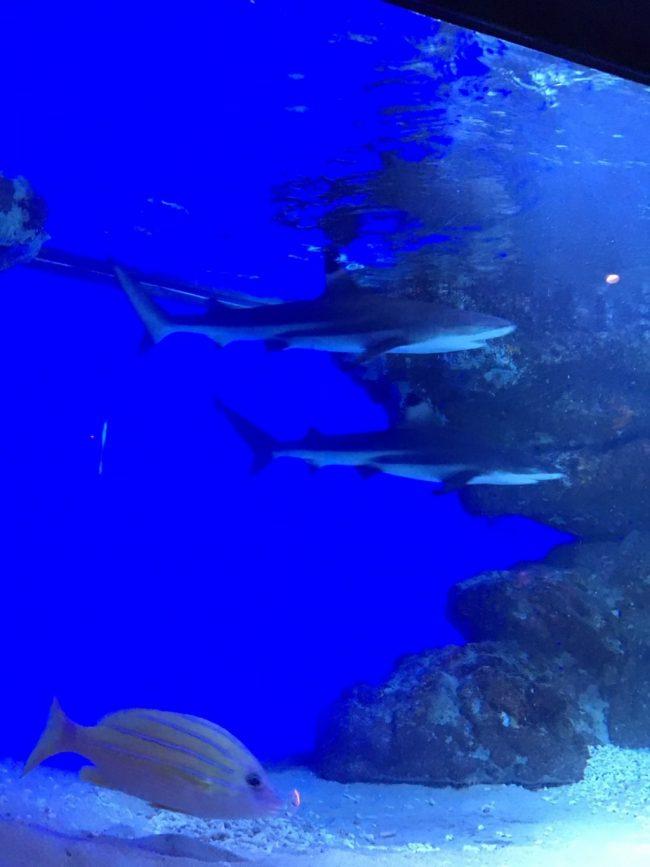 グランシャークのサメ2